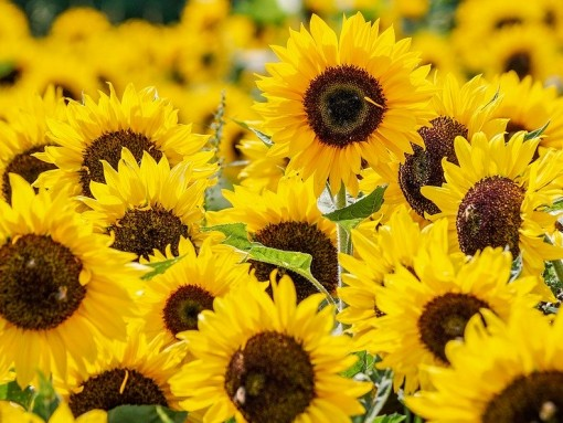 sunflower-3792914_1280
